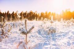 Salida del sol de la puesta del sol en el brillo de Sunny Winter Snowy Forest Sun sobre Wint Fotos de archivo