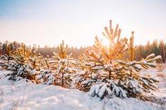 Salida del sol de la puesta del sol en el brillo de Sunny Winter Snowy Forest Sun sobre Wint Imagenes de archivo