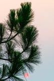 Salida del sol del árbol de pino fotografía de archivo