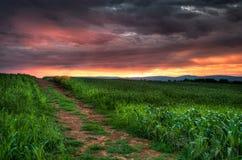 Salida del sol del campo de maíz Fotos de archivo libres de regalías