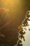 Salida del sol del campo del tulipán oscura Fotografía de archivo