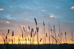 Salida del sol del Cattail Foto de archivo