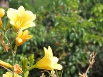 Salida del sol del flor de los tulipanes Foto de archivo