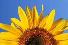Salida del sol del girasol Fotografía de archivo