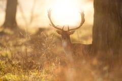 Salida del sol del iat del macho de los ciervos en barbecho foto de archivo
