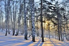 Salida del sol del invierno en la arboleda de los abedules Imagen de archivo libre de regalías