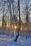 Salida del sol del invierno en la arboleda de los abedules Imagenes de archivo