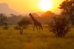 Salida del sol del Kenyan de la jirafa Fotos de archivo libres de regalías