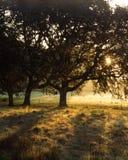 Salida del sol del roble blanco de Oregon Fotos de archivo libres de regalías