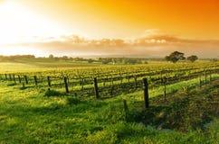 Salida del sol del viñedo