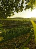 Salida del sol del viñedo Fotos de archivo libres de regalías