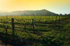 Salida del sol del viñedo Fotografía de archivo