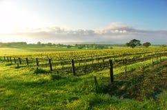 Salida del sol del viñedo Imagen de archivo libre de regalías