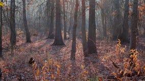 Salida del sol en bosque de la naranja del otoño metrajes
