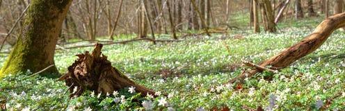 Salida del sol en bosque de la primavera de la flor Fotografía de archivo libre de regalías