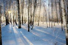 Salida del sol en bosque de los abedules Fotografía de archivo libre de regalías
