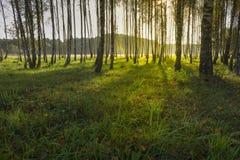 Salida del sol en bosque del abedul Imagenes de archivo