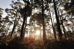 Salida del sol en bosques del pino Fotos de archivo libres de regalías