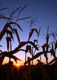 Salida del sol en campo de maíz Fotos de archivo
