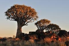 Salida del sol en el bosque del árbol de la aljaba, Namibia Foto de archivo
