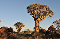 Salida del sol en el bosque del árbol de la aljaba, Namibia Imagenes de archivo