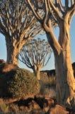 Salida del sol en el bosque del árbol de la aljaba, Namibia Imágenes de archivo libres de regalías