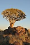 Salida del sol en el bosque del árbol de la aljaba, Namibia Foto de archivo libre de regalías