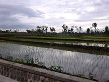 Salida del sol en el campo del arroz Foto de archivo libre de regalías