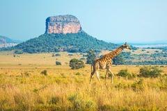 Salida del sol en el Entabeni Safari Game Reserve, Suráfrica foto de archivo libre de regalías