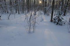 Salida del sol en invierno frío en el bosque del abedul de la nieve Fotos de archivo libres de regalías