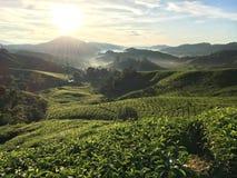 Salida del sol en la plantación de té Imagen de archivo libre de regalías