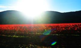 Salida del sol en los viñedos Fotografía de archivo libre de regalías