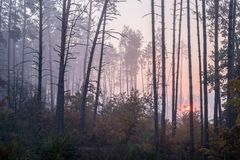 Salida del sol en un bosque del pino que el sol naciente brilla entre los árboles a través de la niebla imagen de archivo libre de regalías