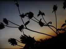 Salida del sol del girasol Imagenes de archivo
