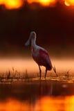 Salida del sol hermosa con el pájaro, ajaja del Platalea, Spoonbill rosado, en la luz de la parte posterior del sol del agua, ret Fotos de archivo libres de regalías