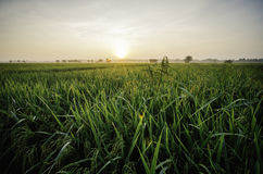 Salida del sol hermosa en el campo de arroz planta verde del arroz con rocío casa del abandono rodeada por el arroz verde Imagen de archivo