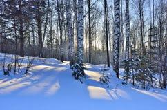 Salida del sol del invierno en la arboleda de los abedules Fotos de archivo