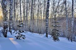 Salida del sol del invierno en la arboleda de los abedules Fotos de archivo libres de regalías