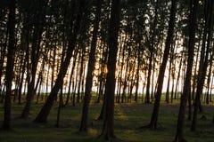 Salida del sol a lo largo del pino Fotografía de archivo libre de regalías