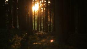 Salida del sol preciosa en bosque mágico romántico del verano metrajes