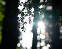 Salida del sol que mira a escondidas a través de los árboles imagenes de archivo