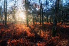 Salida del sol roja del bosque del helecho Fotografía de archivo