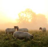 Salida del sol rural hermosa con las ovejas Imagen de archivo libre de regalías