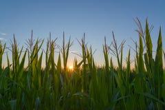 Salida del sol sobre campo de maíz foto de archivo libre de regalías