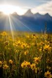 Salida del sol sobre el Tetons y los wildflowers Imagen de archivo libre de regalías