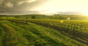 Salida del sol sobre el viñedo Foto de archivo libre de regalías