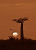 Salida del sol sobre la avenida de los baobabs, Madagascar Fotografía de archivo