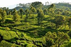 Salida del sol sobre las plantaciones de té imágenes de archivo libres de regalías