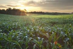 Salida del sol sobre un campo del maíz joven Fotos de archivo