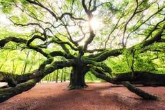 Salida del sol a través de Angel Oak Tree en Carolina del Sur fotografía de archivo libre de regalías
